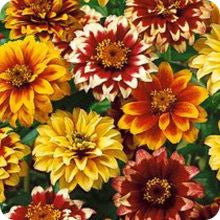Zinnia - Persian Carpet