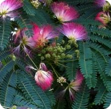 Persian Silk Tree Seeds (Albizia julibrissin)