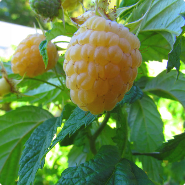 Raspberry Plants - Anne