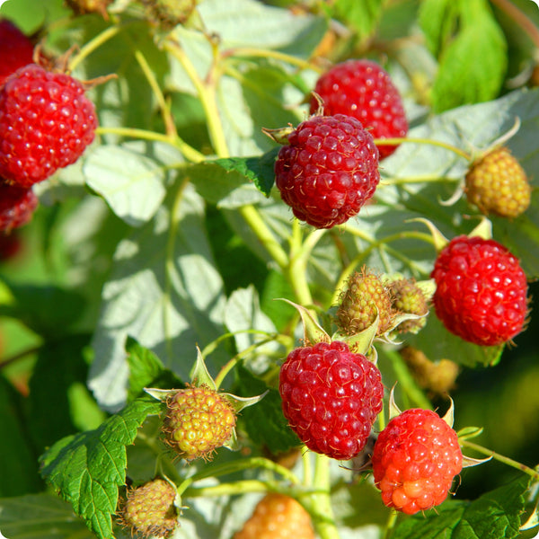 Raspberry Plants - Heritage