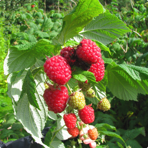 Raspberry Plants - Killarney