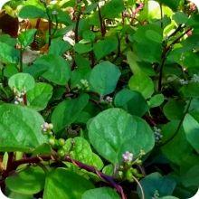 Spinach Seeds - Red Malabar