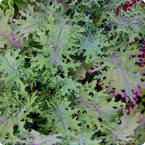 Kale Seeds - Red Russian