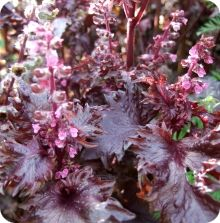 Shiso Seeds, Red