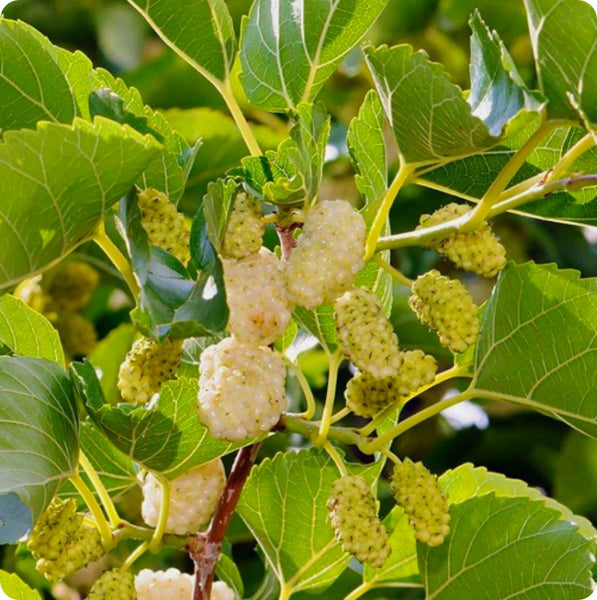 Mulberry Seeds - Russian White Mulberry