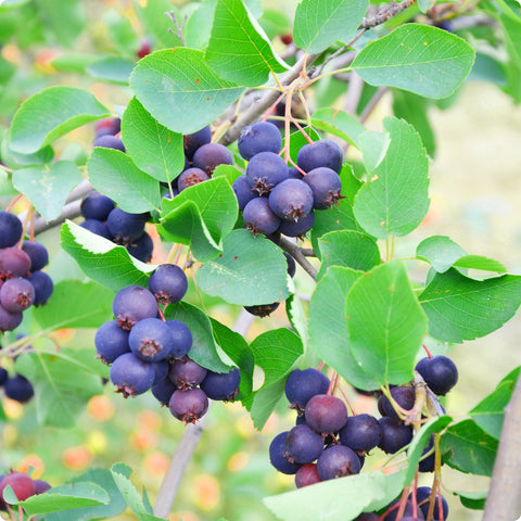 Saskatoon Berry Plants - Theissen - Heirloom Untreated NON-GMO From Canada