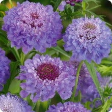 Scabiosa Seeds - Oxford Blue