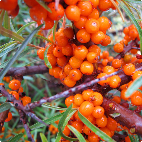 Seabuckthorn Plants - Inya (female)