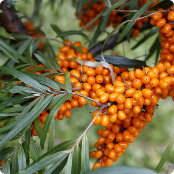 Seabuckthorn Plants - Prevoshodnaya (Female)
