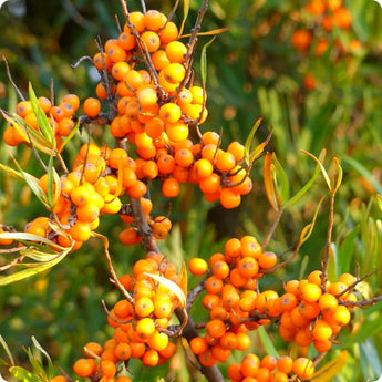 Seabuckthorn Plants - Orange Russian (Female)