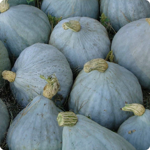 BABY Blue Hubbard Squash Seeds