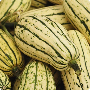 BUSH Delicata Squash Seeds