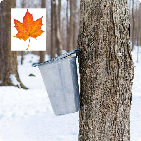 Maple Tree Seeds - Sugar Maple
