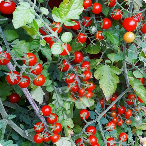 Sweet Aperitif - Cherry Tomato Seeds