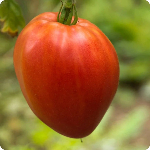 Hungarian Heart - Paste Tomato Seeds