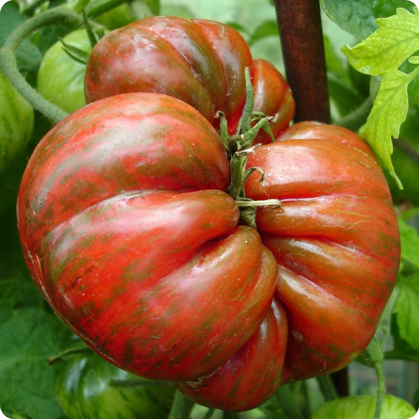 Berkley Tie-Dye Tomato Seeds