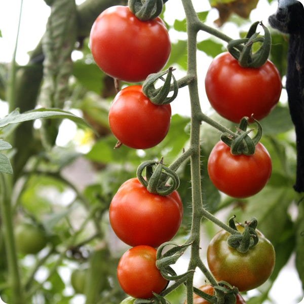 Gardeners' Delight - Cherry Tomato Seeds
