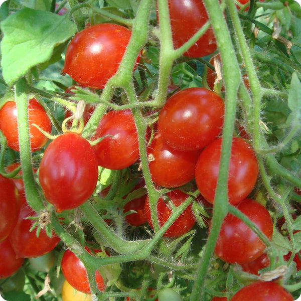 Pricipe Borghese Paste Tomato Seeds