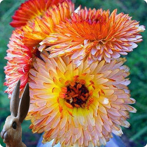 Calendula Seeds - Triangle Flashback