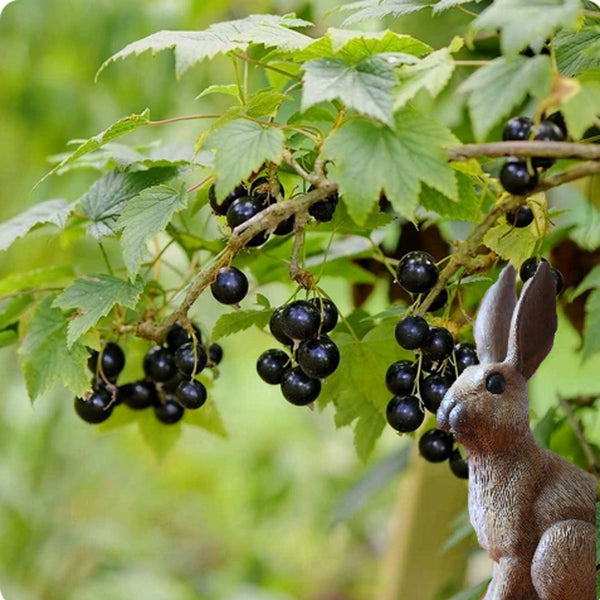 Currant Plants, Black - Wellington