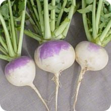 White Globe Purple Top Turnip