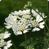 Lace Flower Seeds - White Finch