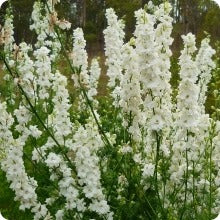 Shop for flowers at the incredible seed company heirloom untreated larkspur seeds sublime white mightylinksfo