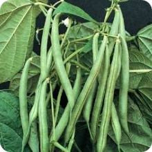 Bush Bean - Blue Lake