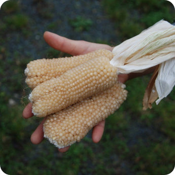 Corn Seeds - Bear Paw Popcorn