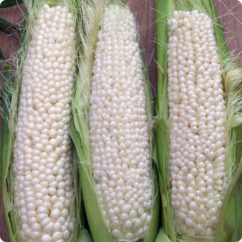 Corn Seeds - Country Gentleman
