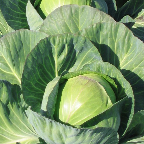 2,000 Cabbage Seeds Golden Acre Seeds 65 days