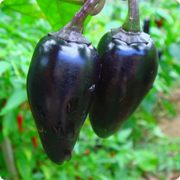 Black Hungarian Hot Pepper Seeds