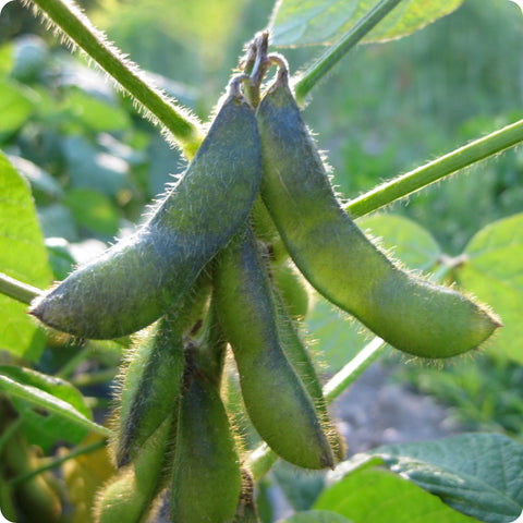 Soy Bean Seeds - Fiskeby