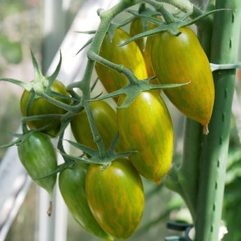 Green Tiger Cherry Tomato Seeds