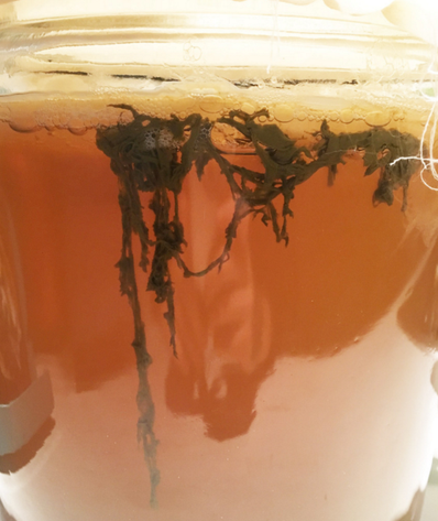 The Kombucha SCOBY Demystified