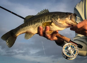 Largemouth bass  with fly rod and reel.