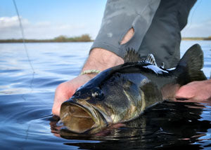 Florida largemouth bass caught on fly in the St. Johns River width=