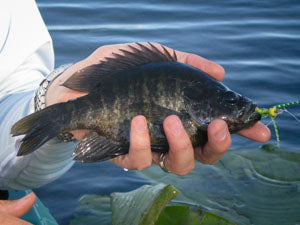 bluegill with fly
