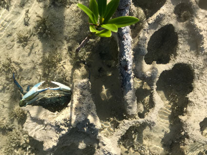Limestone bottom with a mangrove shoot and small crab.