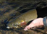 fly fishing the South Platte