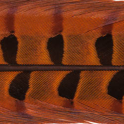 Ringneck Pheasant Tail Feathers - 1 Pair, Orange (PTP012)