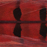 Ringneck Pheasant Tail Feathers - 1 Pair, Red (PTP056)