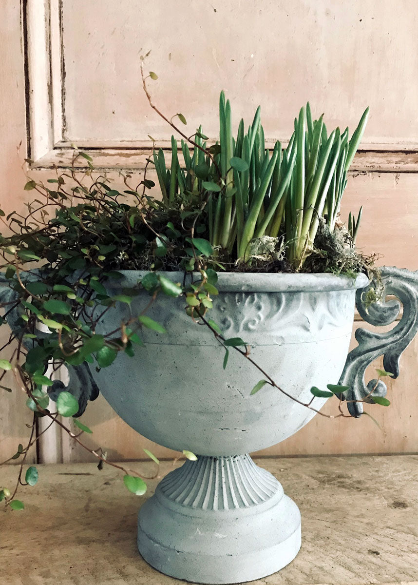 Planted urn with grape hyacinths and muehlenbeckia