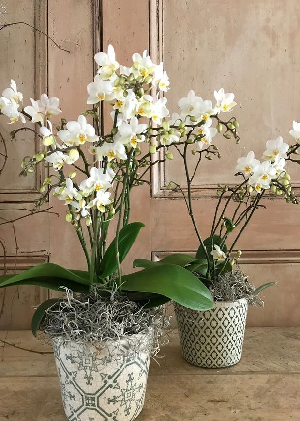 Wild Orchid in heritage pot