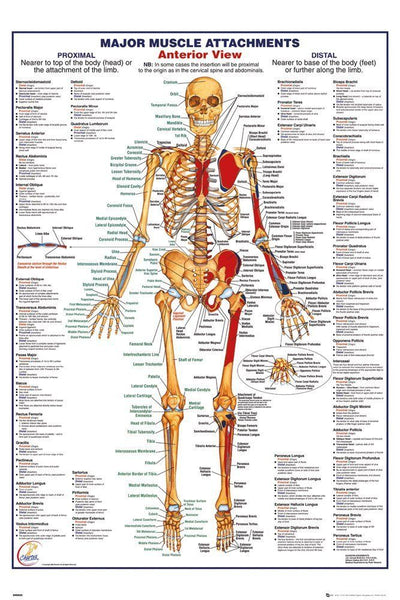 Human Body Anatomy Muscles Skeleton Anterior View Poster Print Wall Art Large Maxi