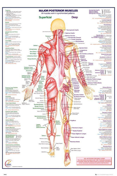 Human Body Major Posterior Muscles Anatomy Poster Print Wall Art Large Maxi