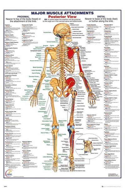 Human Body Muscle Attachments Posterior Skeleton Anatomy Poster Wall Art Large