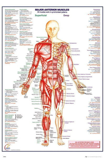 Human Body Major Anterior Muscles Anatomy Poster Print Wall Art Large Maxi