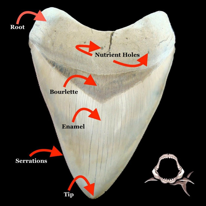 Megalodon Teeth: Flawless and Flawed
