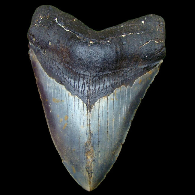 Megalodon Shark Teeth - Bargain Priced